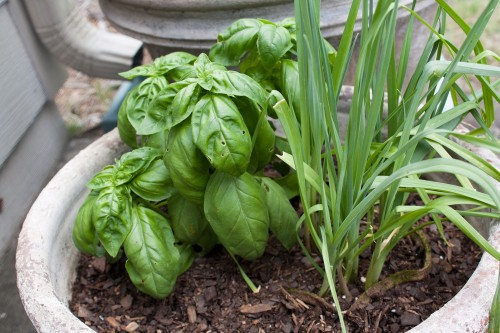 Basil &amp; Leek Plants